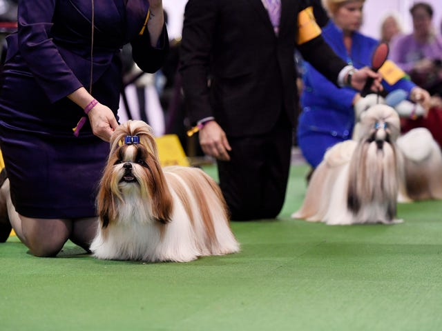 The Westminster Dog Show Is The Past And Future Of Obsessive Dog Ownership