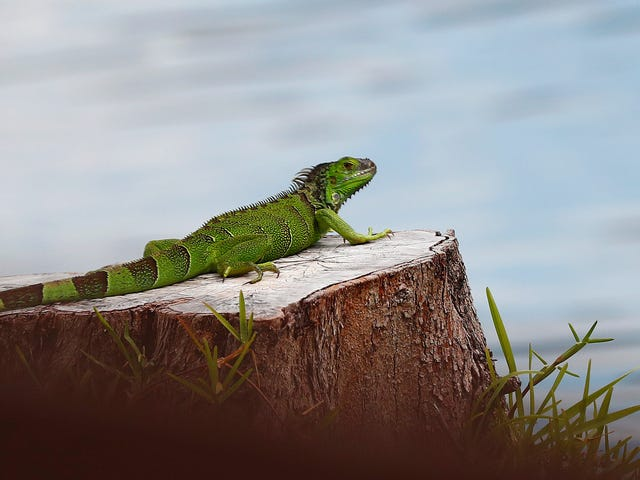 Florida Clarifies Its Directive to Kill Iguanas 'Whenever Possible' After Florida Man Gets Shot