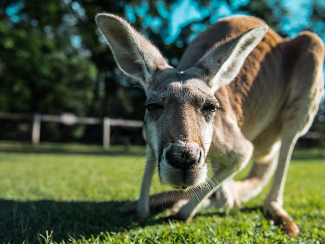 Utah restaurant sells out of ill-timed kangaroo burgers