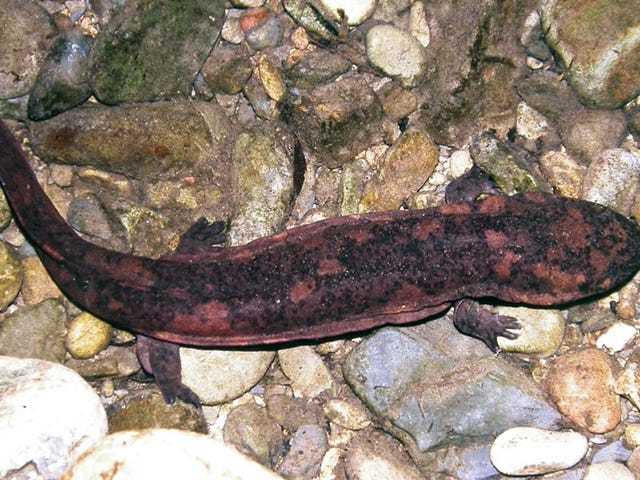 Goo From Giant Salamanders Is Impressively Good at Sealing Wounds
