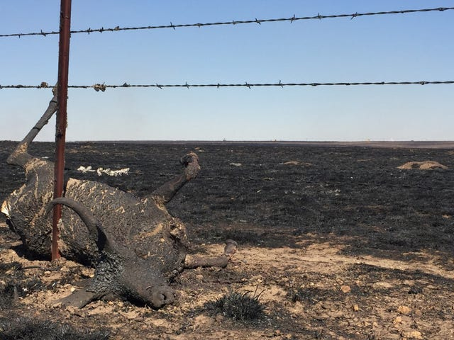 Inside the Midwest Wildfires That Burned Cattle Alive