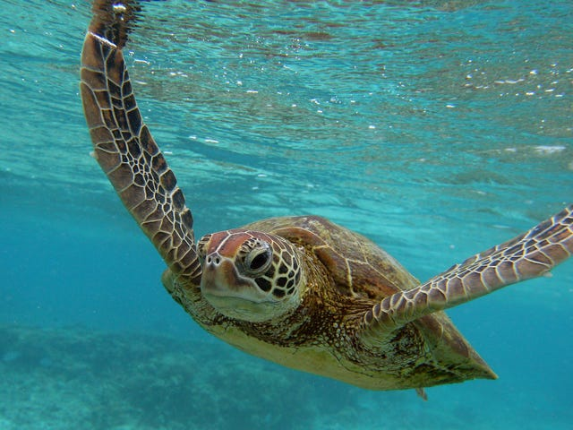 New Study Finds Microplastics inEvery Species of Sea Turtle on Earth