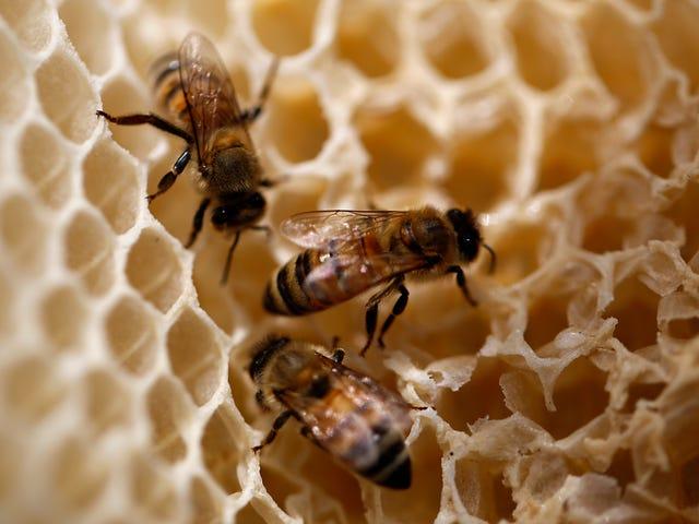 Forskare vill använda honung från bikupor för att övervaka föroreningar