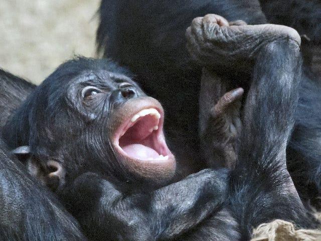 Human Babies Laugh Just Like Chimpanzees