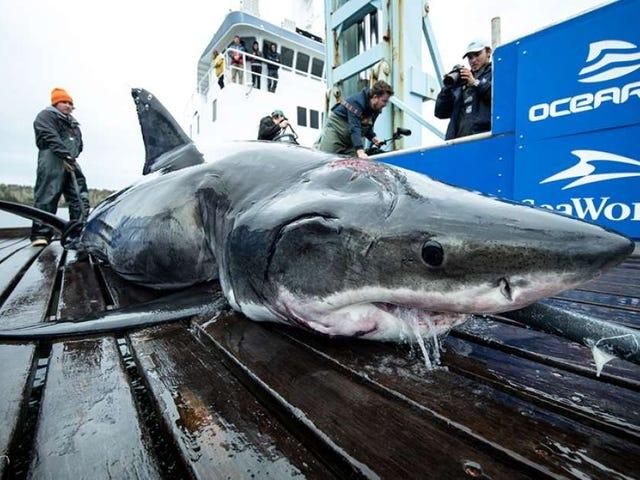 ¿Qué pudo atacar a este tiburón blanco para dejarle estas gigantescas marcas?