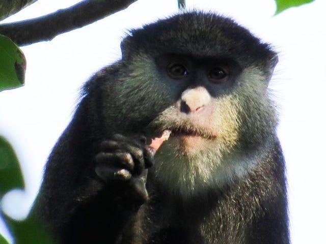 Afrikanske apekatter fanget spiserfladder for første gang