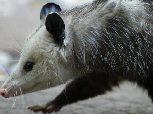Step aside, bodega cats—here is bodega possum