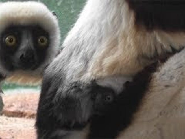 Babies Everywhere! Endangered Lemur Born in Saint Louis