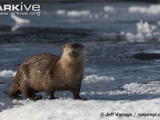 Monday Mustelid - Lontra canadensis Edition
