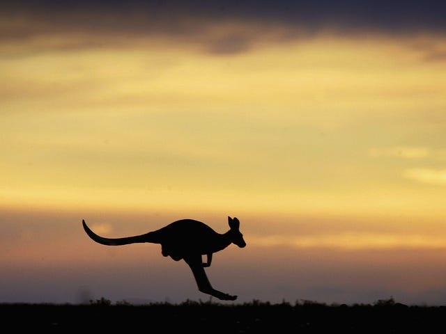 Herkes bu kanguruyu sikmek istiyor