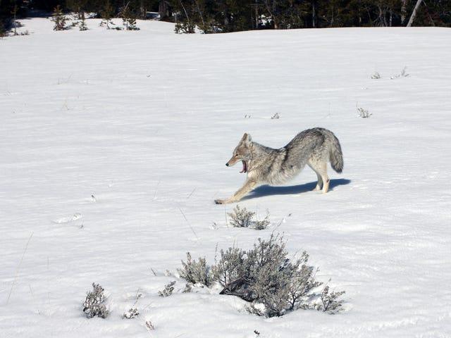 Yellowstone Coyote demonstreert vlekkeloze neerwaartse hondentechniek