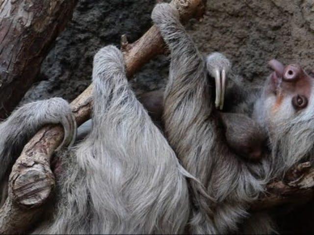 Biarkan Sloth Baru Lahir Ini Membantu Anda Lupa Tentang Keadaan Politik AS