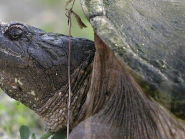Investigan a un profesor por alimentar a una tortuga mordedora con un cachorro delante de sus alumnos