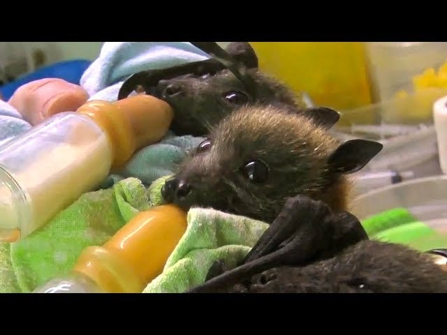 As It Happens, Orphaned Baby Bats Are Head-Explodingly Adorable