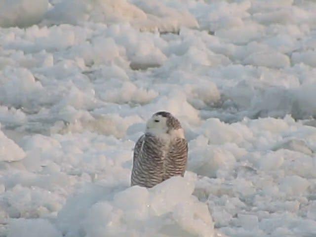 För Owl