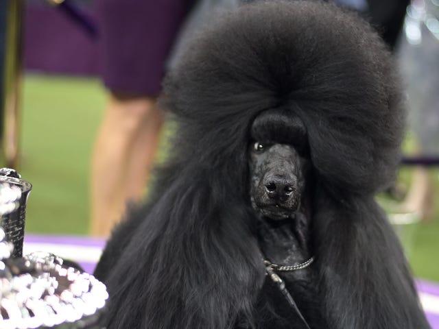 यह कुत्ता एक सितारा है