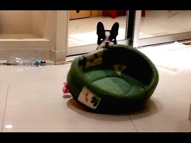 프랑스 불독 강아지 영웅적으로 사악한 고양이에서 침대를 되찾아