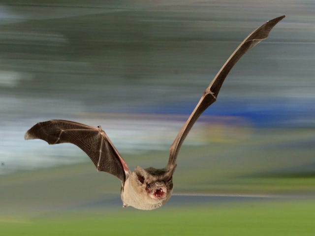 Tiny Bat Shocks Scientists by Smashing Decades-Old Speed Record