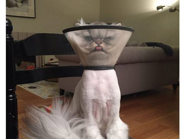 """""""友人の猫が去勢手術したらしいんだけどその時の写真がこちら"""""""