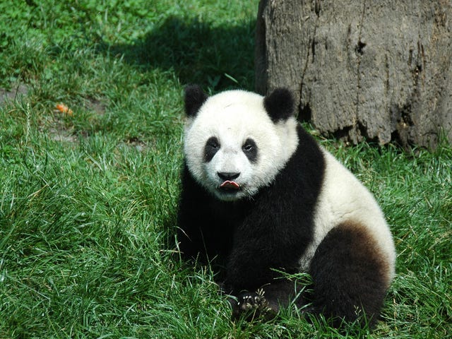 Panda Breeding Programs Are Way More Successful Than You Realize