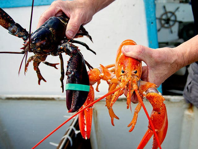 A rare orange lobster turns up at a Cape Cod seafood joint