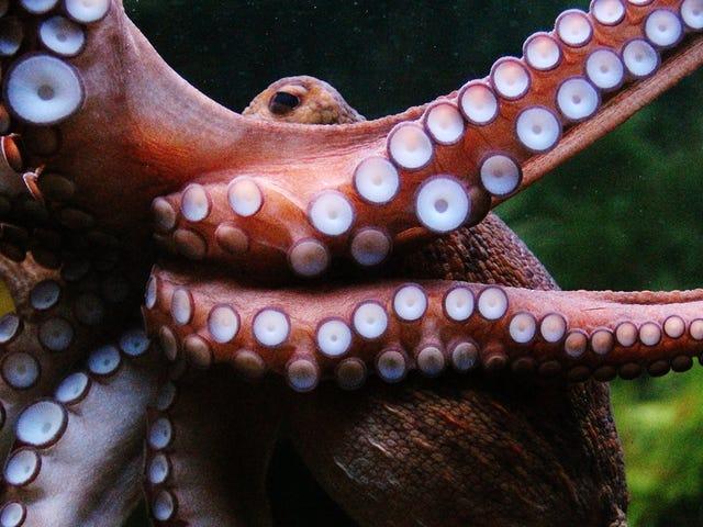 Los tentáculos de los pulpos son capaces de tomar decisiones propias sin la intervención del cerebro