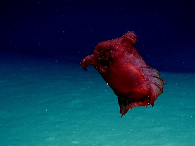 "Mesmerizing Deep-Sea ""Headless Chicken Monster"" Filmed in the Southern Ocean"