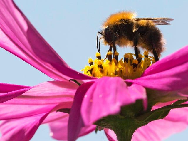 De Trump-regering probeert zelfs met de bijen te neuken