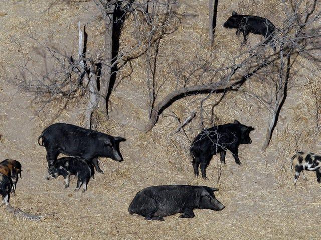 Если вы думаете, 30-50 диких свиней звучит плохо, просто подождите