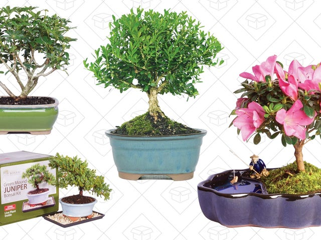 Teach Yourself The Art of Bonzai With This Amazon Gold Box