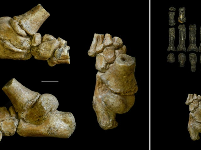 A Toddler Who Lived 3 Million Years Ago Could Walk Upright and Capably Climb Trees