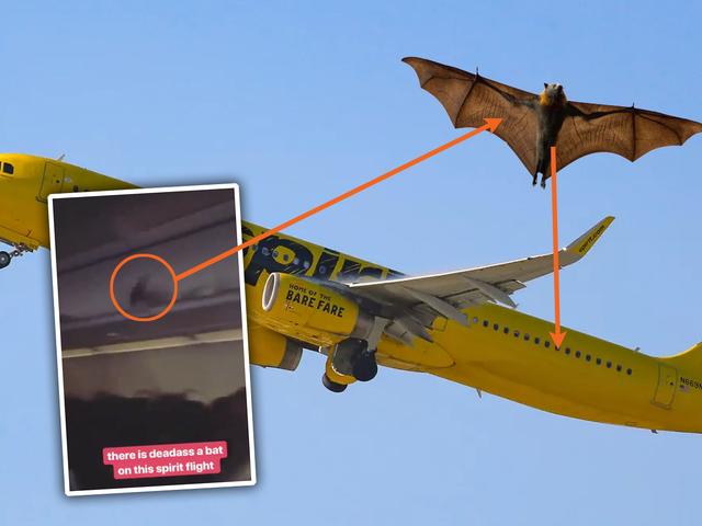 W samolocie Spirit Airlines latał dziwny nietoperz
