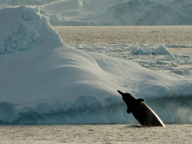 A Strange Whale Sound Recorded in Antarctica Could Be From a New Species