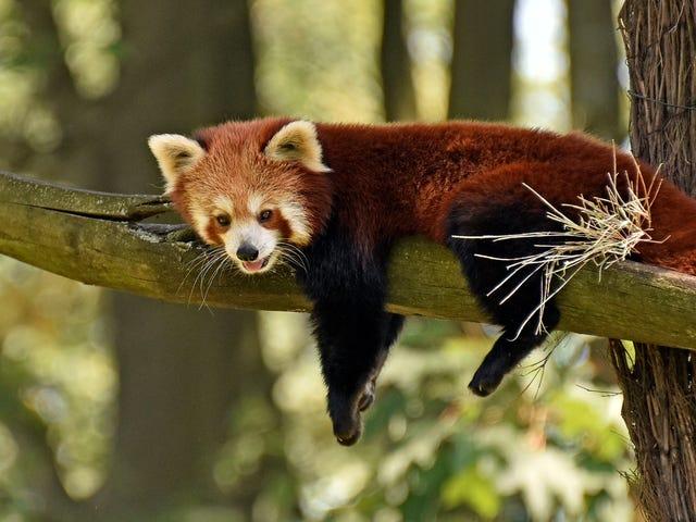 Saturday Night Social: ospitato da Sunny, il panda rosso che se ne è andato