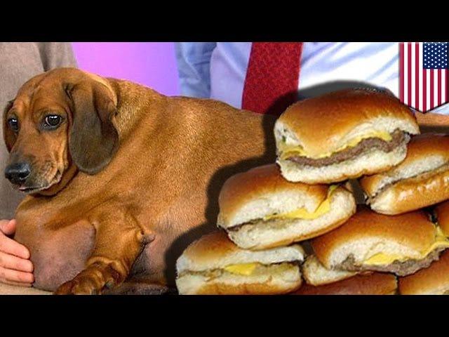 Les vétérinaires le haïssent: un chien perd 75% de la graisse corporelle en un tour étrange