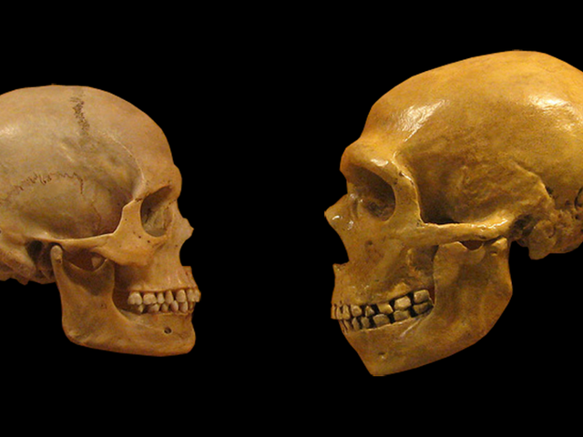 Did Neanderthals Go Extinct Because of the Size of Their Brains?