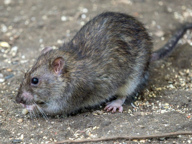 NYC unleashes new weapon in war on rats: buckets of alcohol