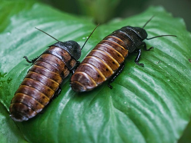 Show Your Person You Care and Name a Cockroach After Them for Valentine's Day