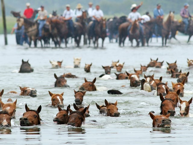 Big News for Misty ofChincoteague Fans: The Government Will Pay You to Adopt a Wild Mustang
