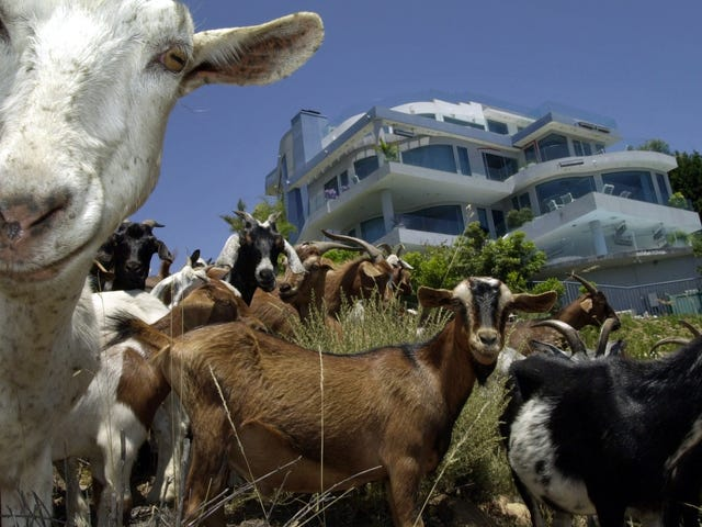 'Goat Fund Me' Campaign Wants to Raise Money for Firefighting Goats