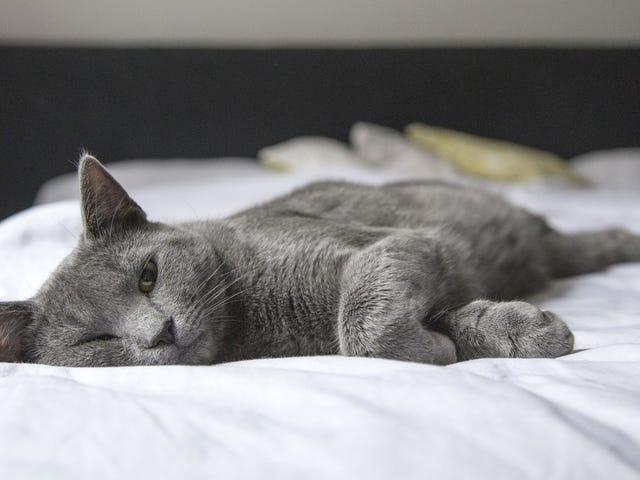 Kedi alerjisi olan konuklar için evinizi daha konforlu hale nasıl getirebilirsiniz