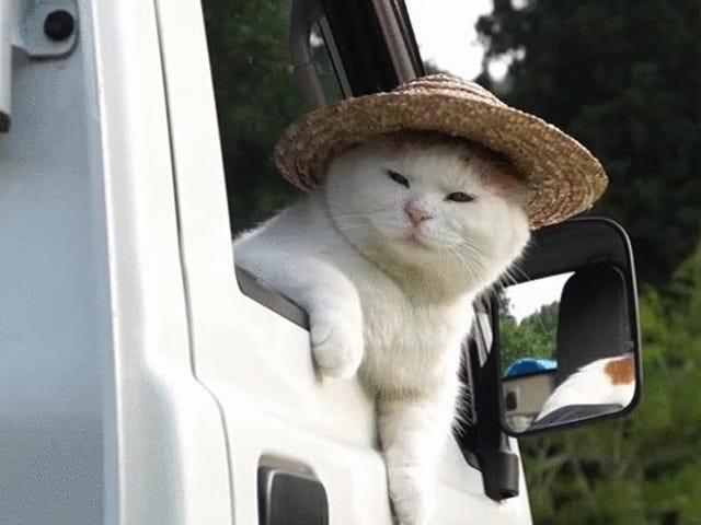 Mantieni Oppo Cat!