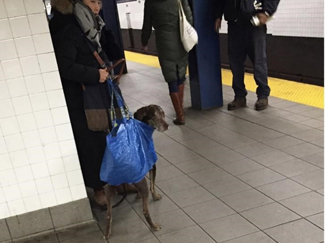 Dogs and cats are allowed on New York City subway trains, but must be kept in a carrier at all times.