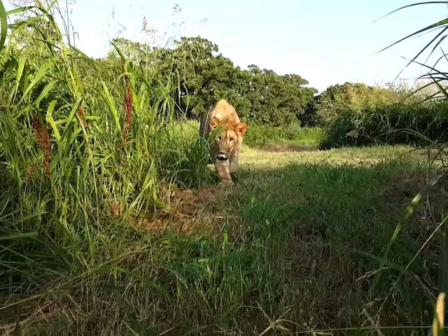 Caturday!Theme`````Lions and Grass~~~~~