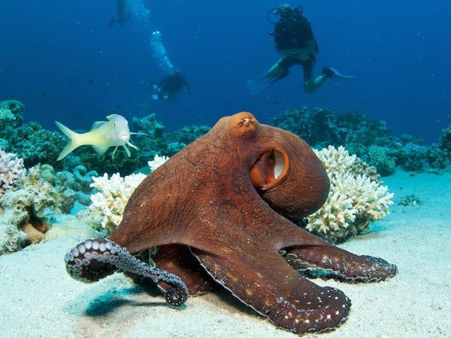 Ancaman Dari Kanibalisme Tidak Ada Hari Valentine untuk Octopus
