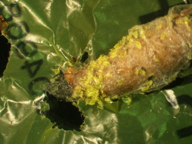 This Caterpillar Can Eat Plastic Shopping Bags