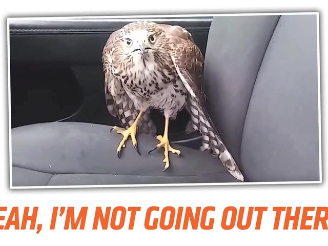 Hawk乘坐出租车避免飓风
