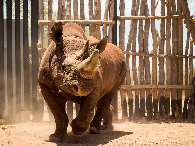 Eight Critically Endangered Black Rhinos Are Dead After Botched Translocation [Updated]