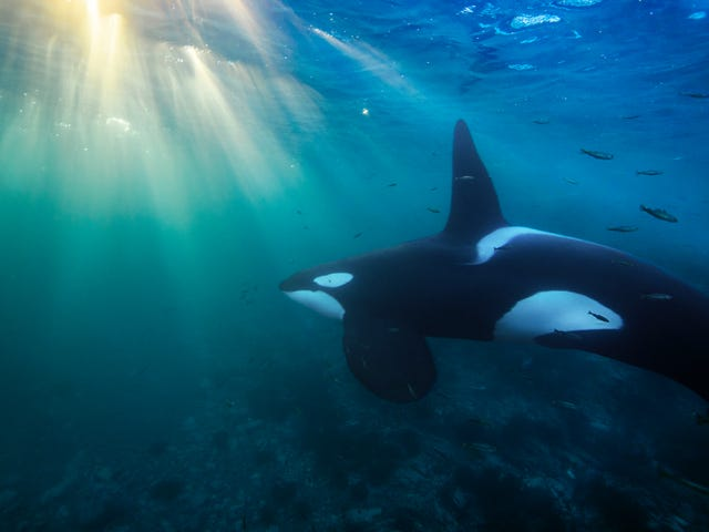 Mass Die-Off of Orcas Feared Due to Chemicals Banned in the '70s