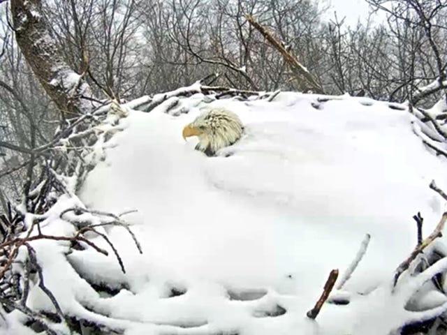 Mira a este heroico águila calva Mantén sus huevos calientes en un nido cubierto de nieve